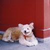 浅草寺の犬